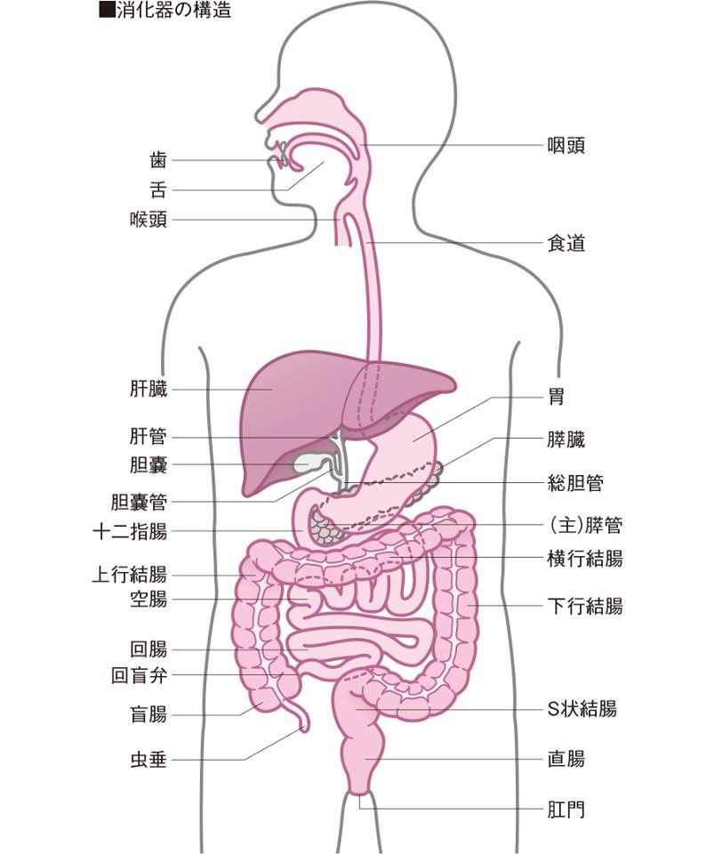 消化器の構造のイラスト