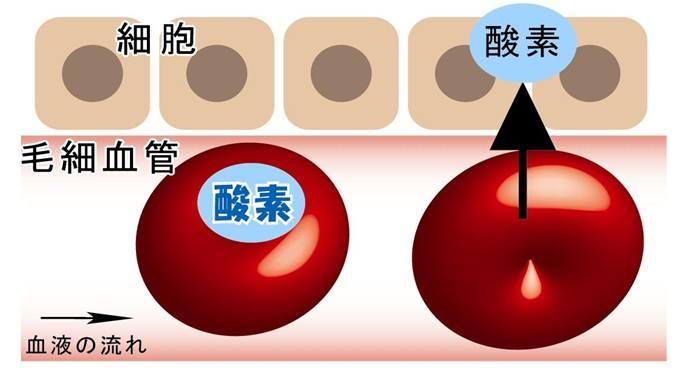 血液から細胞に酸素を取り込む模式図
