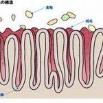 小腸の栄養吸収細胞微絨毛