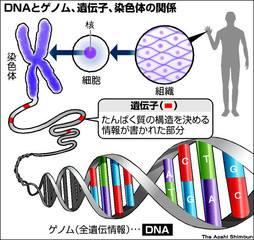 DNAとゲノム、遺伝子、染色体の関係