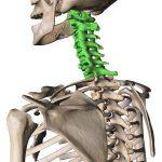 首の骨のイラスト